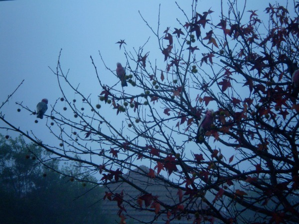 Misty morning - galahs
