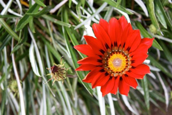 Red star flower