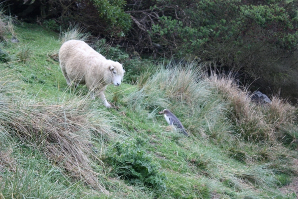 Otago Peninsula Penguin & Sheep