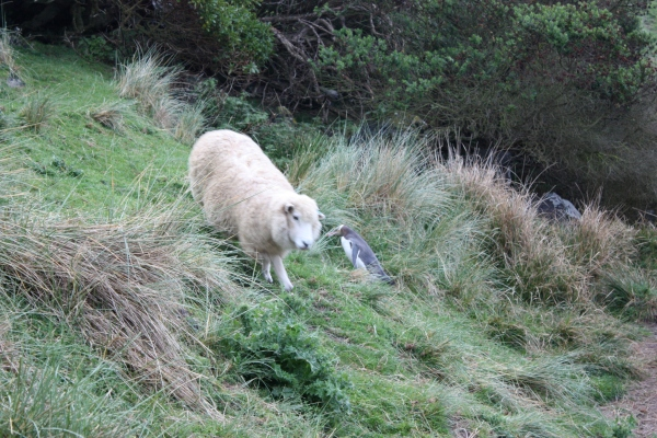 Otago Peninsula Penguin & Sheep 2